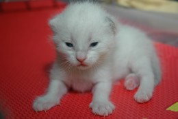 On day eleven, Lola opened her eyes! All kittens have blue eyes!