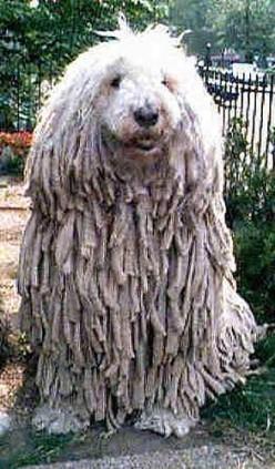 Weird Animals - the Komondor