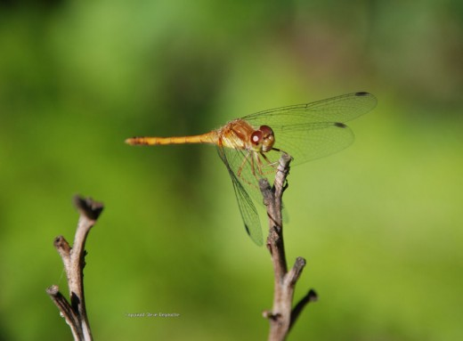 A meadowhawk dragonfly rests on a twig.