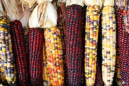 Various forms of Maize
