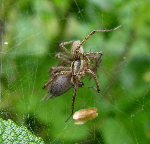 """""""A Bit od Slap and Tickle""""  Garden spiders in sexual embrace."""