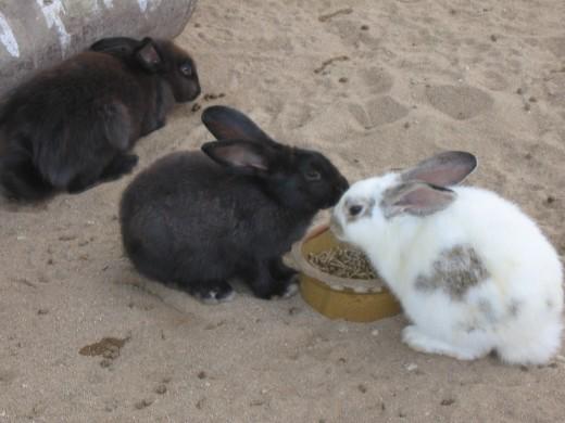 pet rabbit breeds