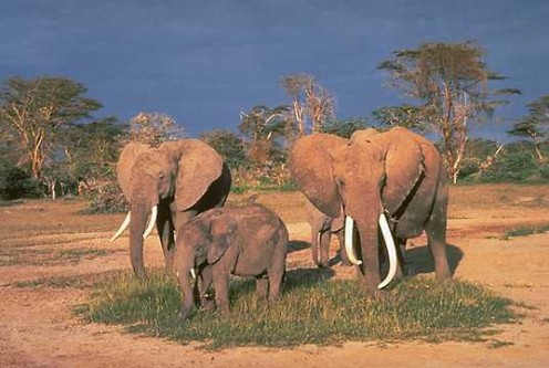 Elephant Family (public domain)