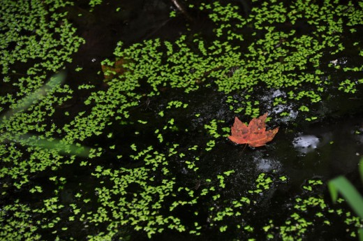 A red maple leaf floats among duckweed in the old bait pond nature is reclaiming.