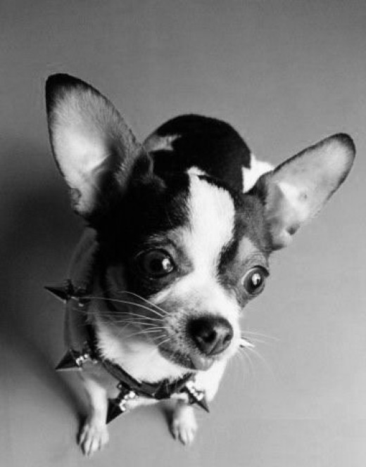 How about a studded collar for your big, tough.... er.... Chihuahua?