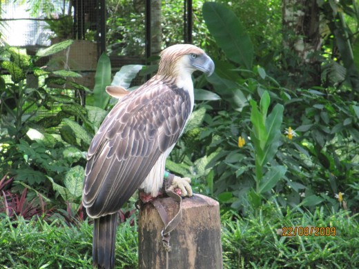 Another Philippine Eagle