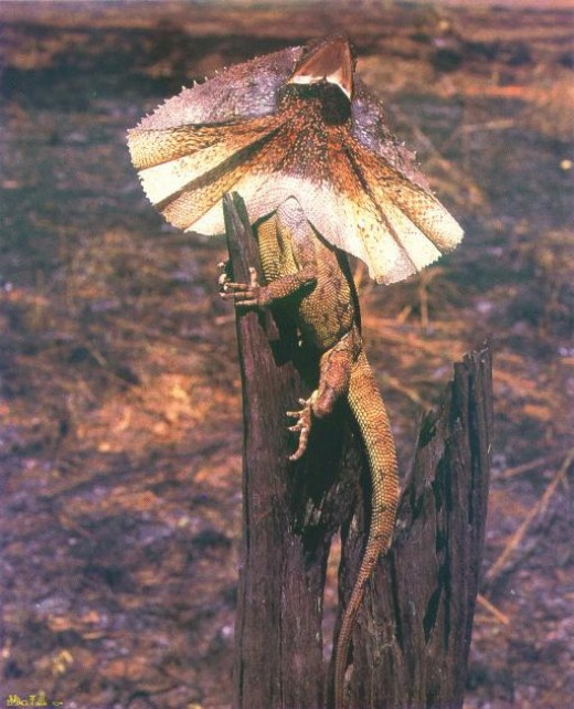 An ancient reptile, such as this one, (connected with the dragon family) could be the very key, like the amphibians, to the survival of humanity! It can survive up to 20 years in captivity!