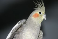Teaching your cockatiel to whistle
