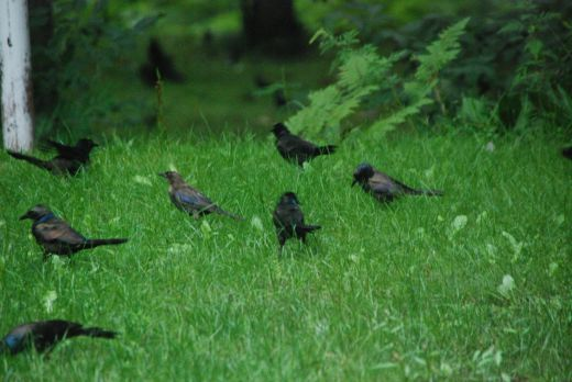 """Grackles descended upon the yard this morning,moving out just as quickly as they arrived. A farmer a few mile away we visited today called the phenomenom a """"fall"""" of grackles. His cornfield was full of the birds."""