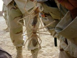 Soldiers with camel spiders