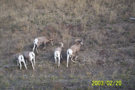 wild game-rocky mountain sheep