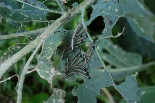 caterpillar attack