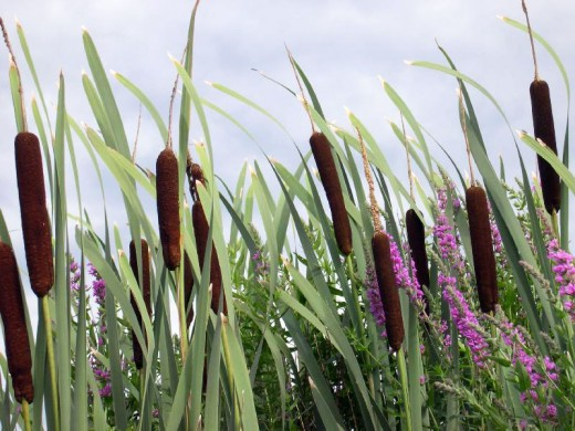 Cattails are readily available near ponds and marshes.