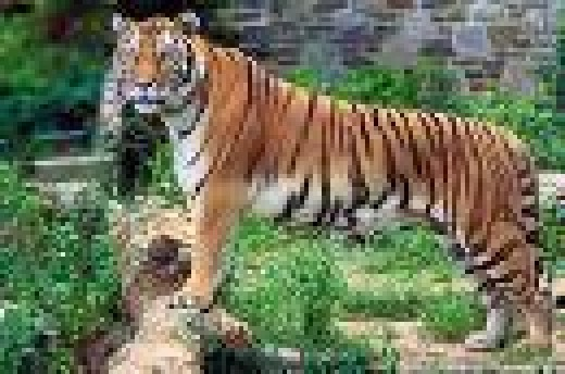 Champawat Tigress recorded to have killed 436 people