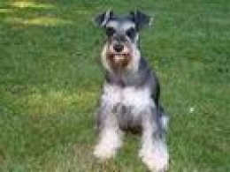 Mini-Schnauzer.  A warm heart covered in fur.  No cold-hearted pythons for me!