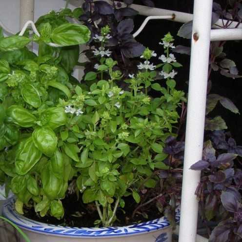 Try fresh Basil in potato salad or your fave pasta sauce recipe.