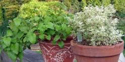 Lemon Balm (L) is a great addition to pasta salads when combined with Anniversary Oregano (R).