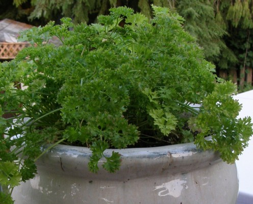 Sprinkle fresh Parsley on pasta or potatoes.