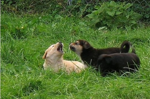 "Flickr images: OldOnliner; ""Puppies Playing"""