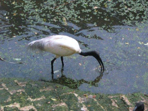 An ibis fishing.