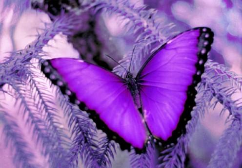 Purple Butterflies Pictures