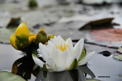 Water lilies on an Upper Peninsula stream.