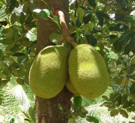 Jack fruits growing on tree