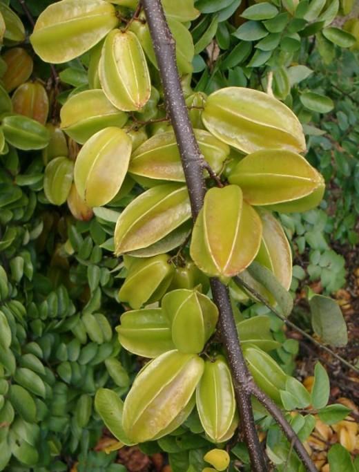 Star Fruit Growing