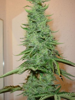Why you shoudn't smoke weed
