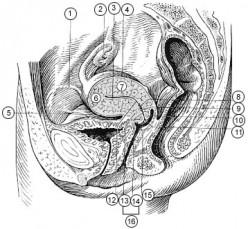 Female Pelvis.