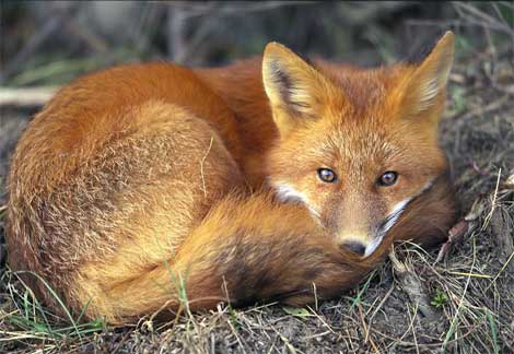 A Curled Up Red Fox. Photograph by Joel Sartore. National Geographical Magazine.