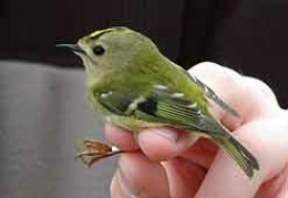 A Goldcrest at Portland Bill (Photo from the BBC Web Site)