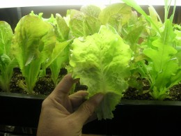 More lettuce growing indoors