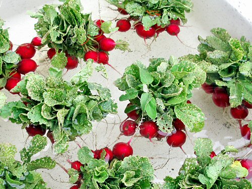 Very Nice Radish Crop grown indoors