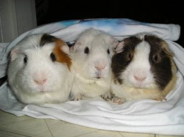 Guinea pigs Like Company!