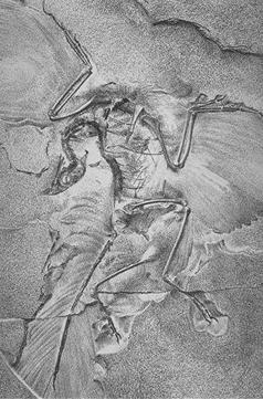 The famous Berlin Specimen of Archaeopteryx lithographica.