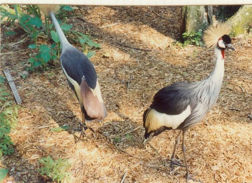 African Crowned Cranes