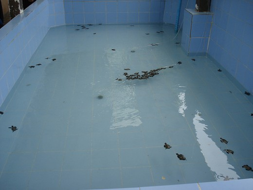 The pools held a varying number of turtles of different ages