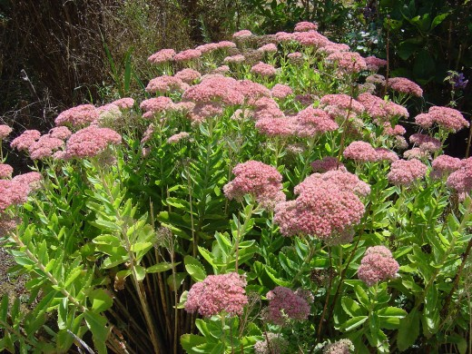 Sedum spectabilis is super for bringing butterflies into the garden.