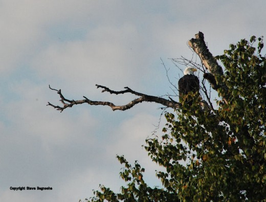 This eagle wasn't in my backyard, though we've seen an eagle in a tree in the yard like this scene once, but I thought I'd share it with you since one of the scenes I saw while on a short trip to Michigan's Upper Peninsula.
