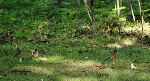 Robins are flocking as fall approaches. Our open woods, leaf-littered yard provides good robin habitat.