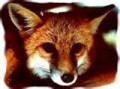 The Unknown Fox Cousins Of Red Foxes