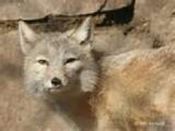 Tibetian Fox
