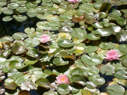 Lotus Blossoms and Lily Pads