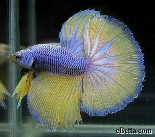 Blue and yellow betta fish - photo#14