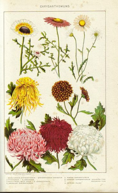 Historical painting of Chrysanthemums from the New International Encyclopedia 1902. Including the Pyrethrum Daisy.