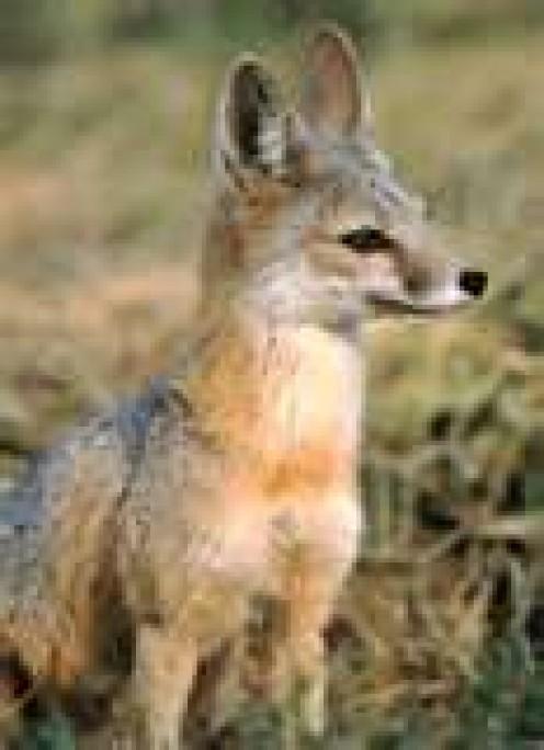 Kit Fox (aka Swift Fox)