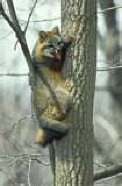Gray Fox (one of the few wild dogs that climb)