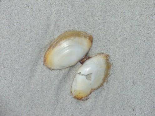 Sea shell, Esperance, Western Australia