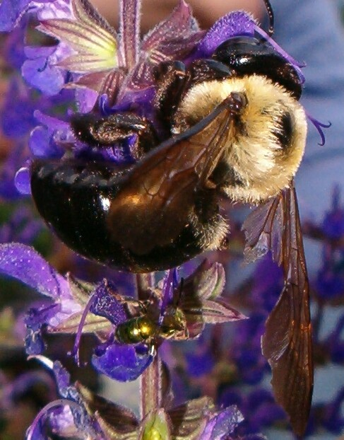This bee was carelessly killed by an ignorant moron moments after this picture was taken.